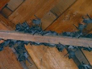 Evergreen Bat Removal